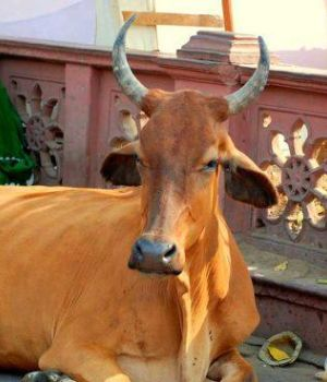 Las vacas son sagradas en India.