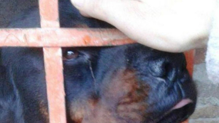 Prosecutor ordered to kill a rottweiler that attacked two girls - Chronic 1